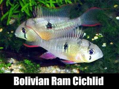Bolivian Ram Cichlid