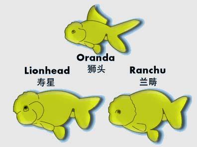 ranchu-vs-lionhead