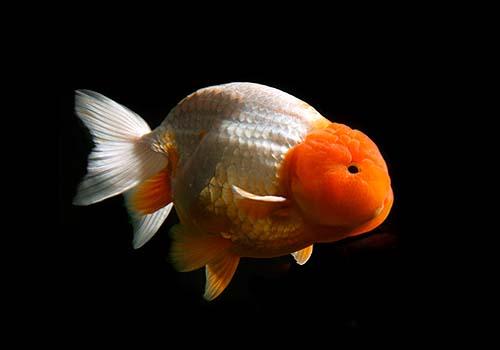 Runchu goldfish