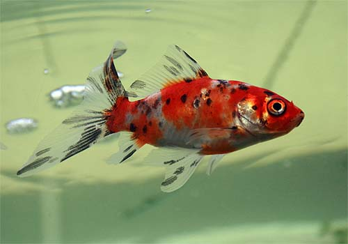 Goldfish Types - Fish Keeping