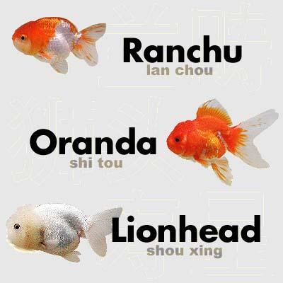 Ranchu vs Lionhead