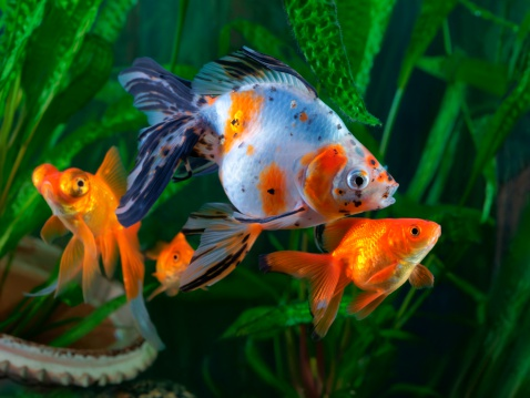 Goldfish types fish keeping for Can tropical fish live with goldfish