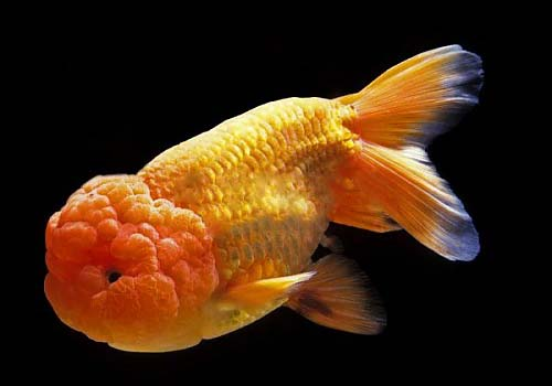 Ranchu vs lionhead differences fish keeping for Can tropical fish live with goldfish