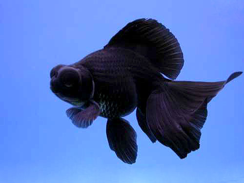 Black moor goldfish for Black fish eggs